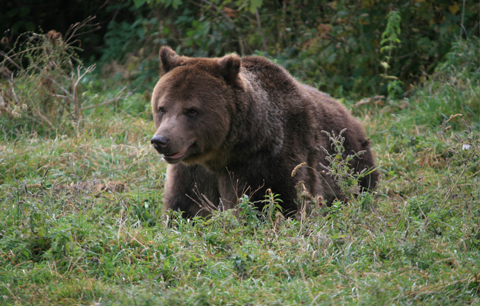 bear watching romania