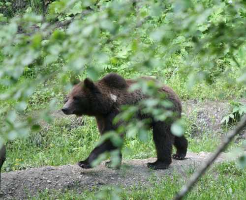 wildlife romania bear