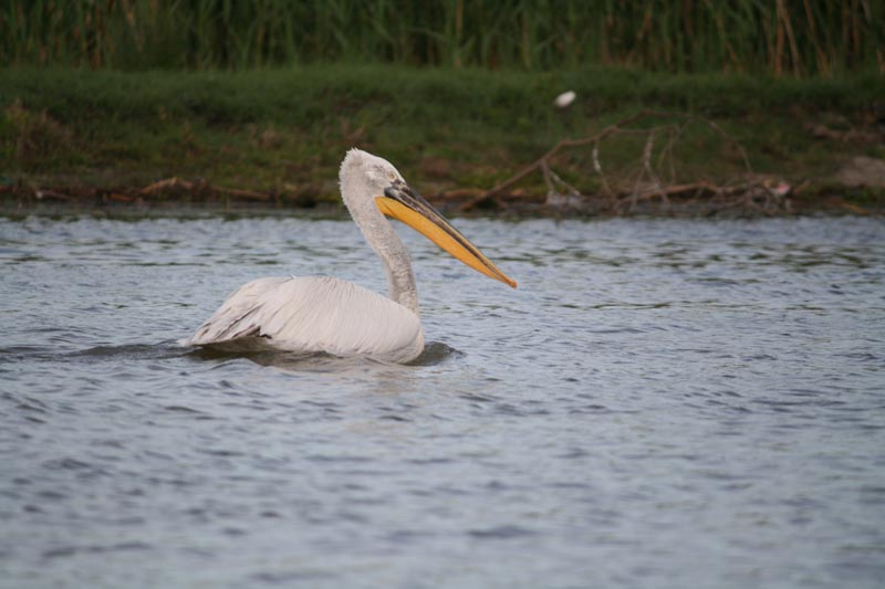 danube delta pelican bird watching