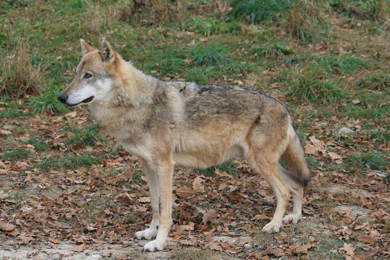 transylvania wolf watching