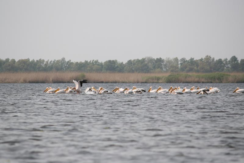 danube delta bird watching pelican group