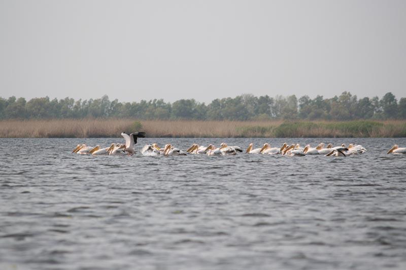 danube delta bird watching pelican group