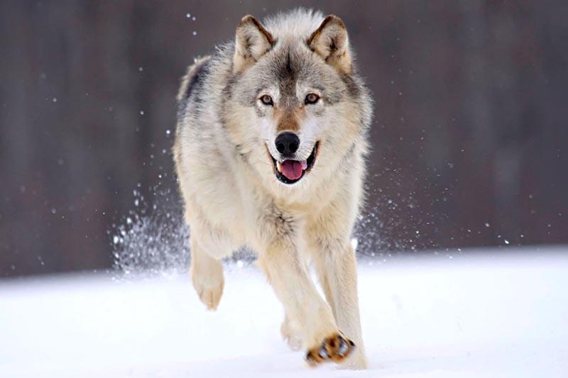 winter wolf watching romania