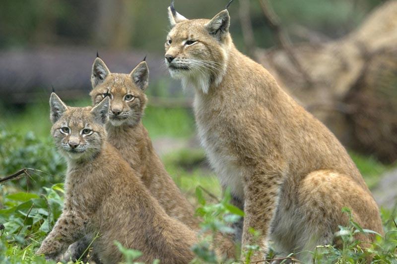 wildlife lynx watching Romania