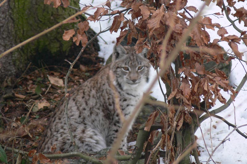 wildlife lynx watching Transylvania